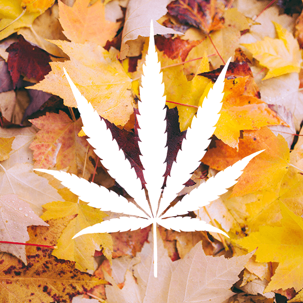 white marijuana leaf on autumn leaves background