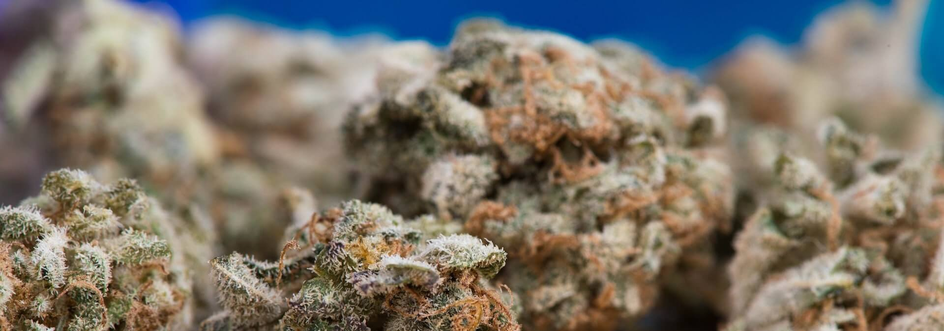 cannabis on a blue background