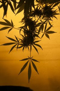 cannabis plant indoor growing