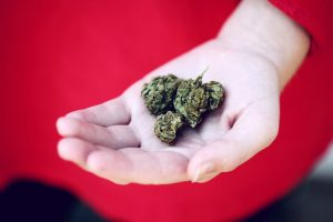 dried cannabis flowers held in hand