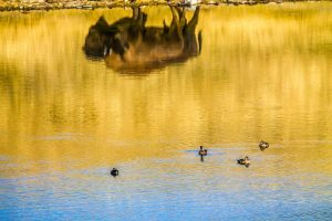 bison reflection in a lake